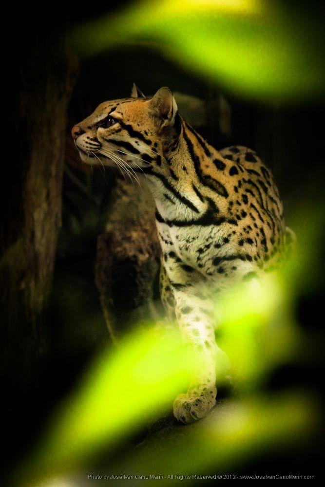 Little Tiger Cat / Tigrillo by JoseIvanCanoMarin