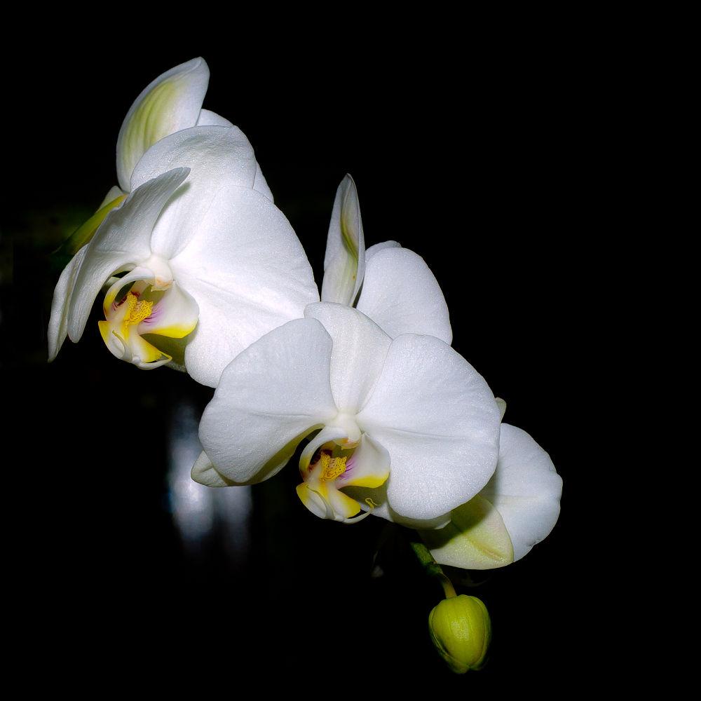 Phalaenopsis cultivar.... orchidées sur fond noir by photosdan