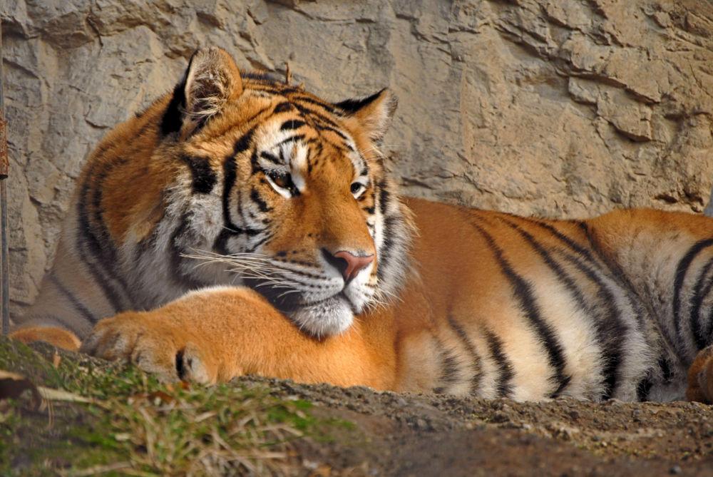 Tiger by fernanduk