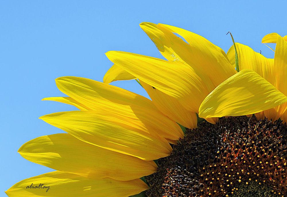 ayçiçeği... by AliAltay