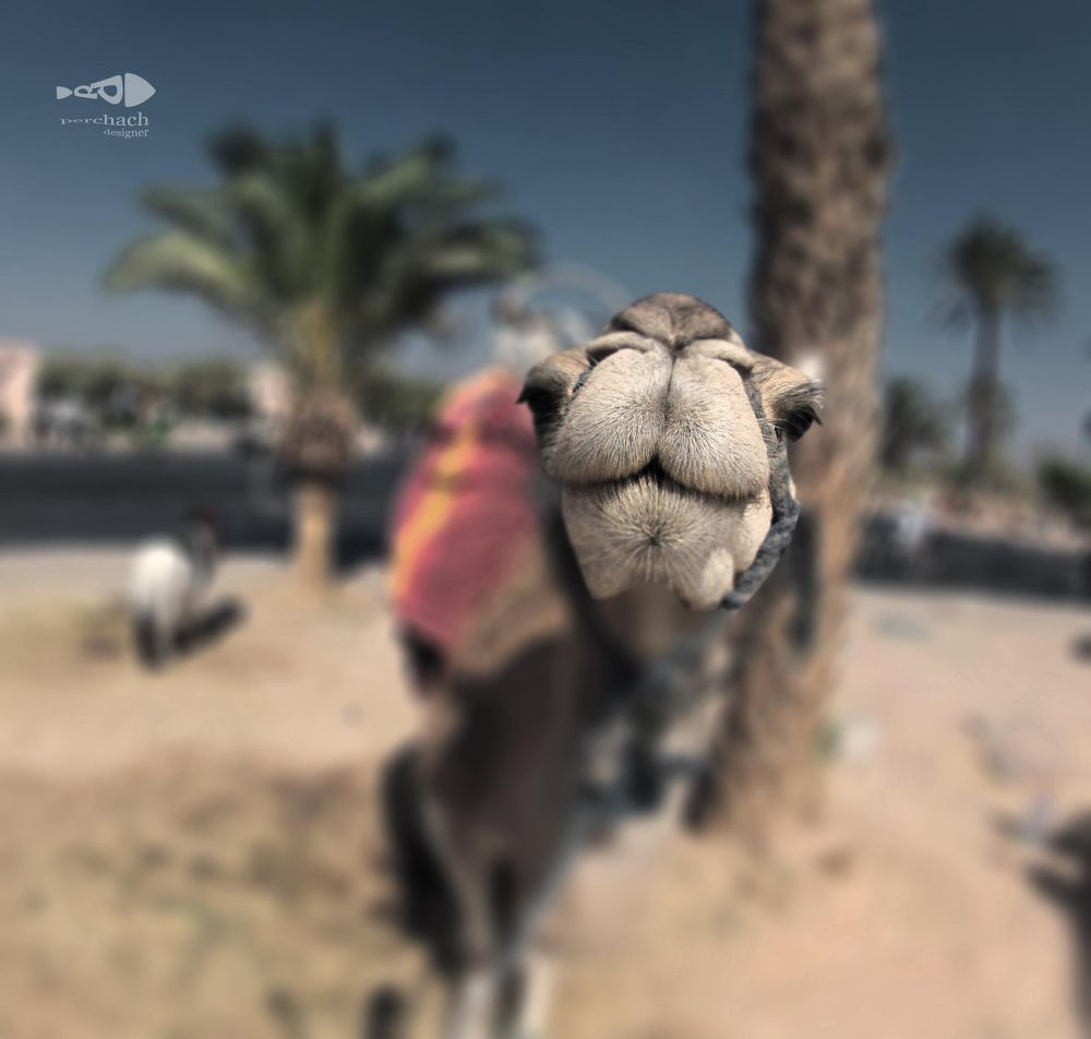 happy camel  by perchach