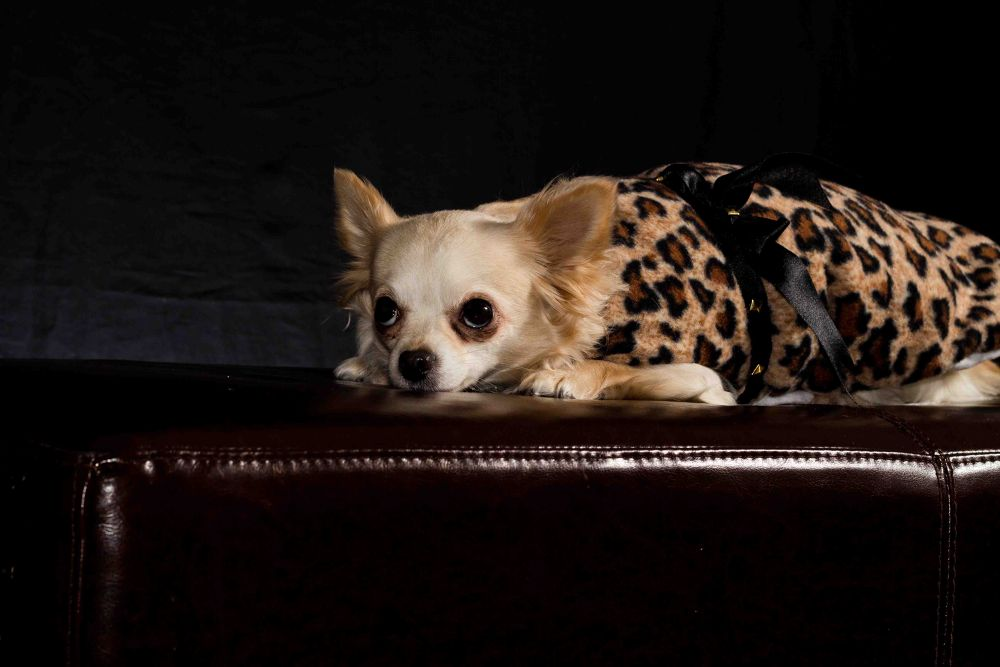 Handmade Lepord Print Coat With Gold Studds by PuppyCloset