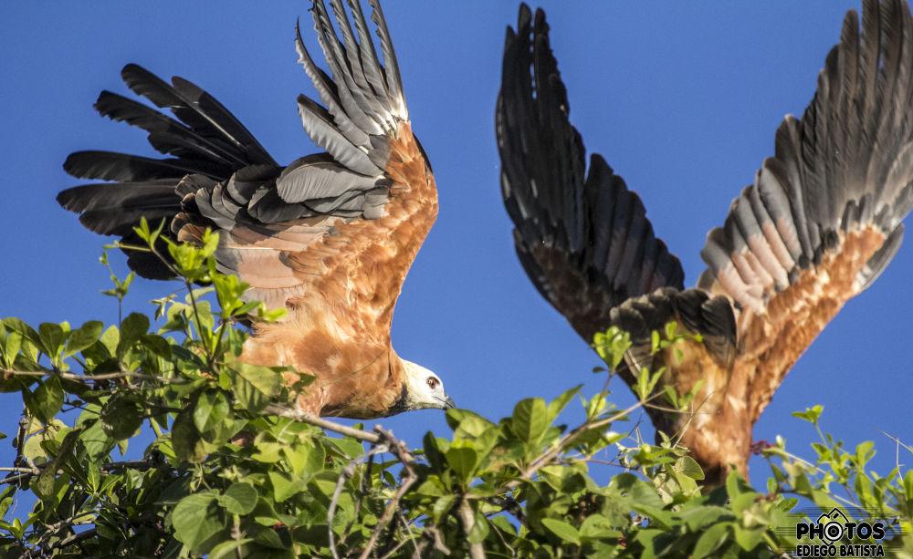 Preto de gola Hawk (Busarellus nigricollis) by ediegobatista
