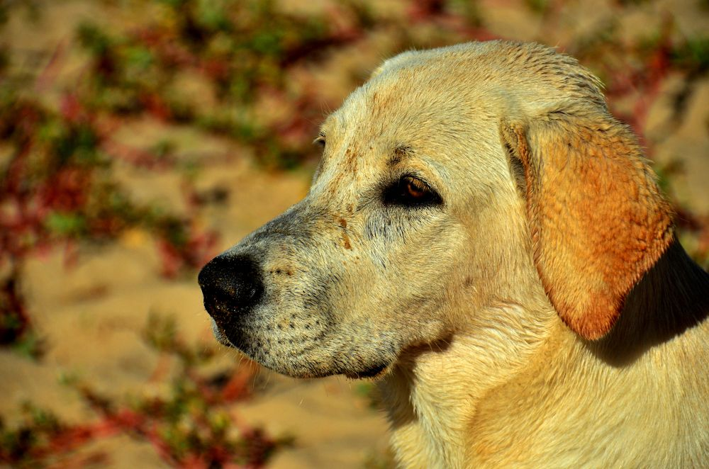 Photo in Random #beach #dog #brazil #espirito santo #labrador
