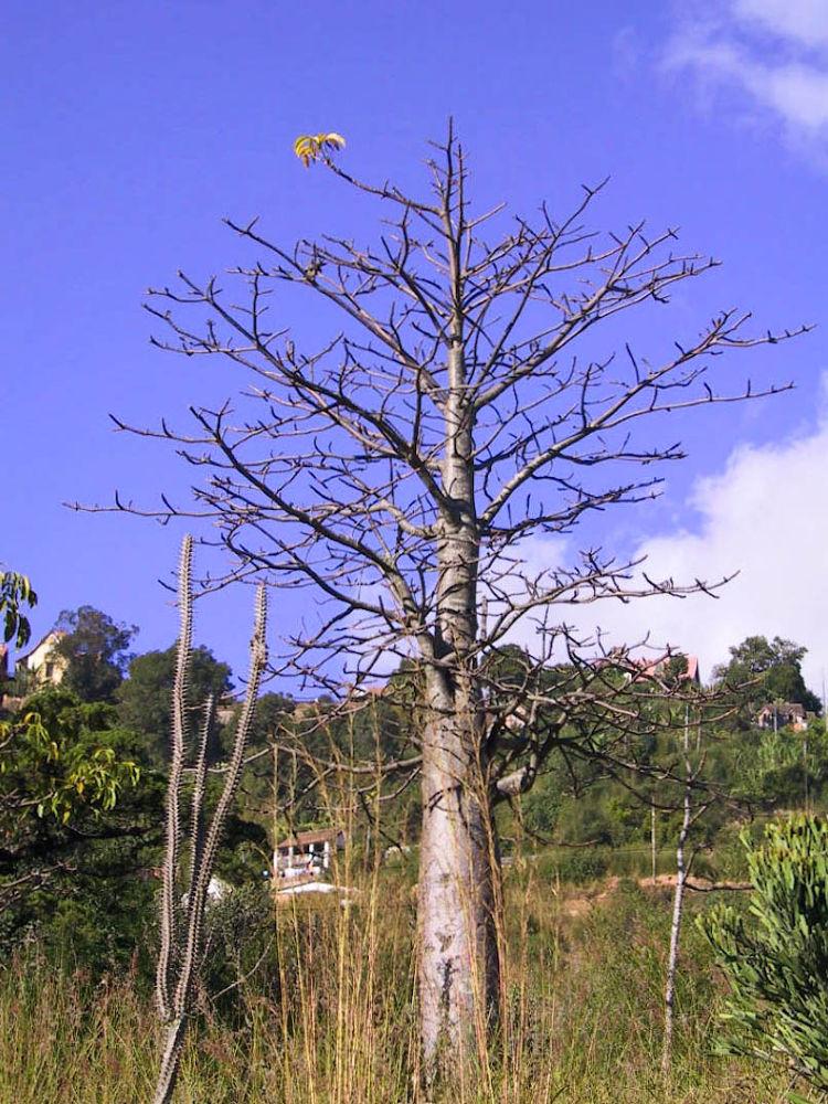 Adansonia-Baobab-Tree by Arie Boevé