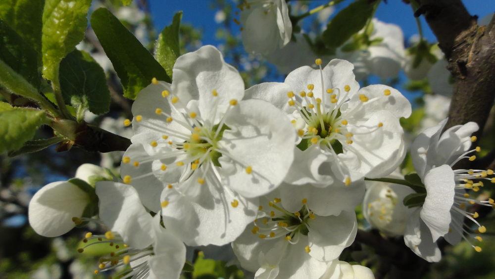 Flowers in the sun (plum flowers) by alf lundsten