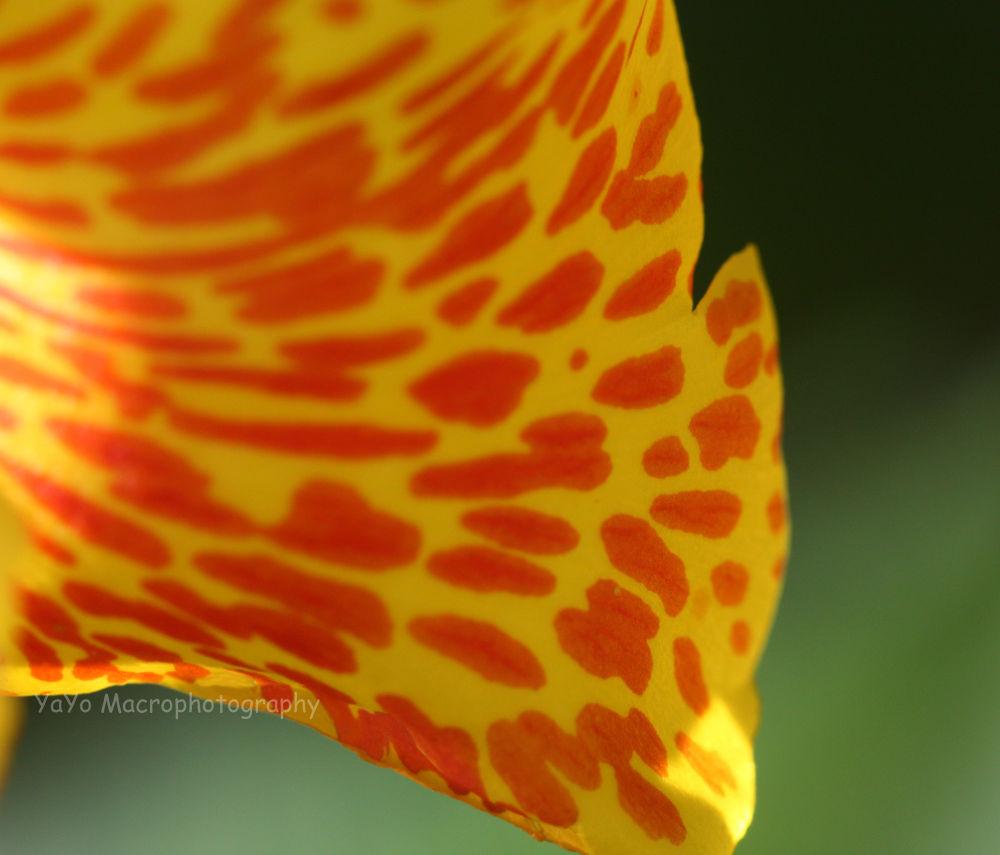 capacho amarillo 2pecoso-canna indica-canna lily indian shot 2 by guarachera