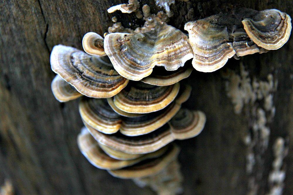 Blue turkeytail fungi by GilReis