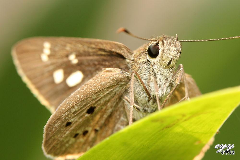 Photo in Macro #canon eos 550d #canon ef 100mm f2.8l is usm #cyy4993 #skipper butterfly