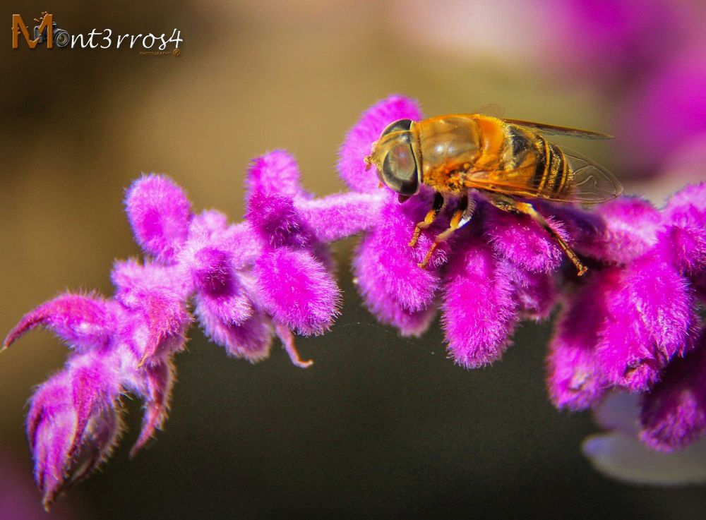 Abeja_1 by mont3rros4