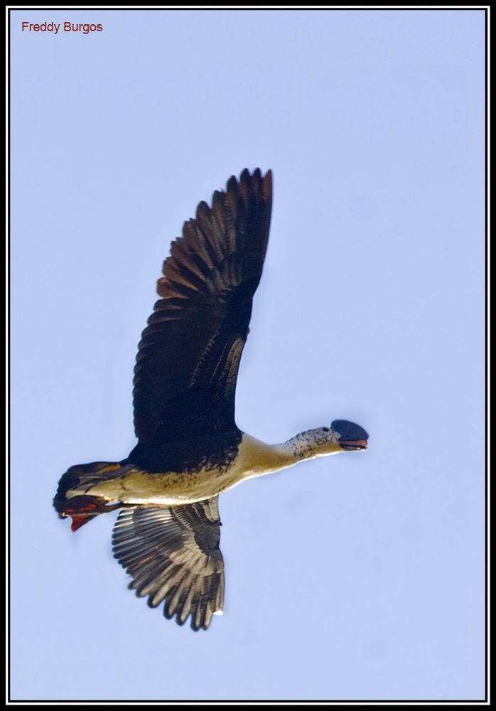 Sarkidiornis melanotos, Pato Crestudo by freddygburgos