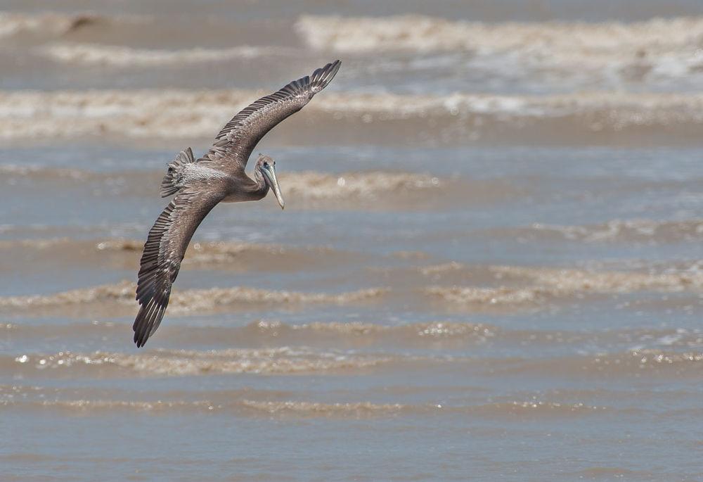 Brown Pelican by phonatic13