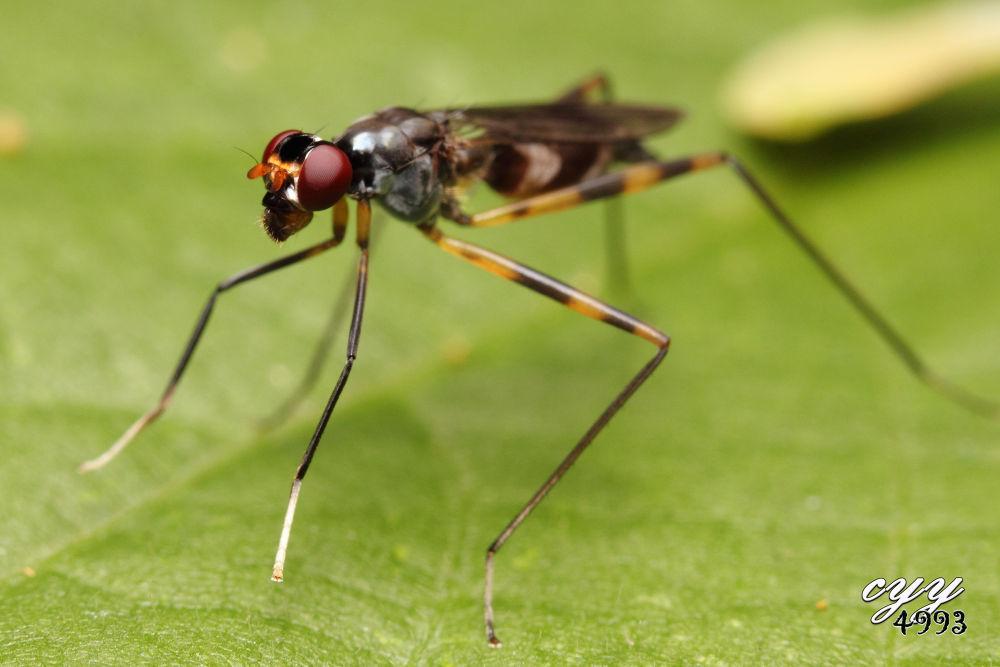 Stilt-legged Fly [Micropezidae] 微脚蝇 by cyy4993
