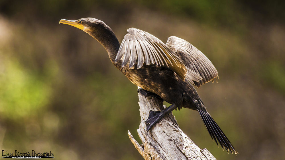 Neotropic Cormorant (Phalacrocorax brasilianus) by ediegobatista