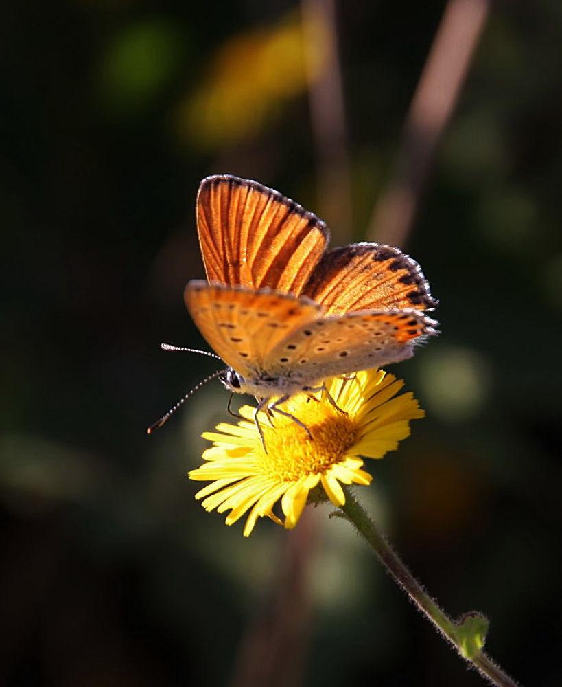 Orange Beauty by yolyordam