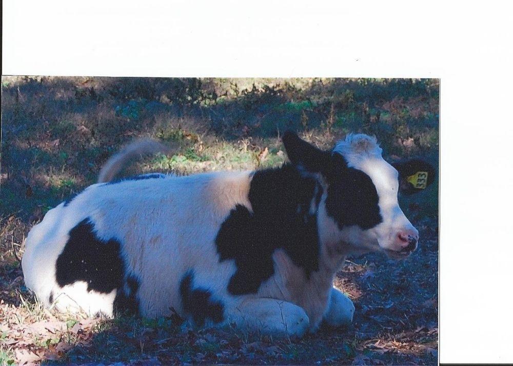Cow by LynnSnow