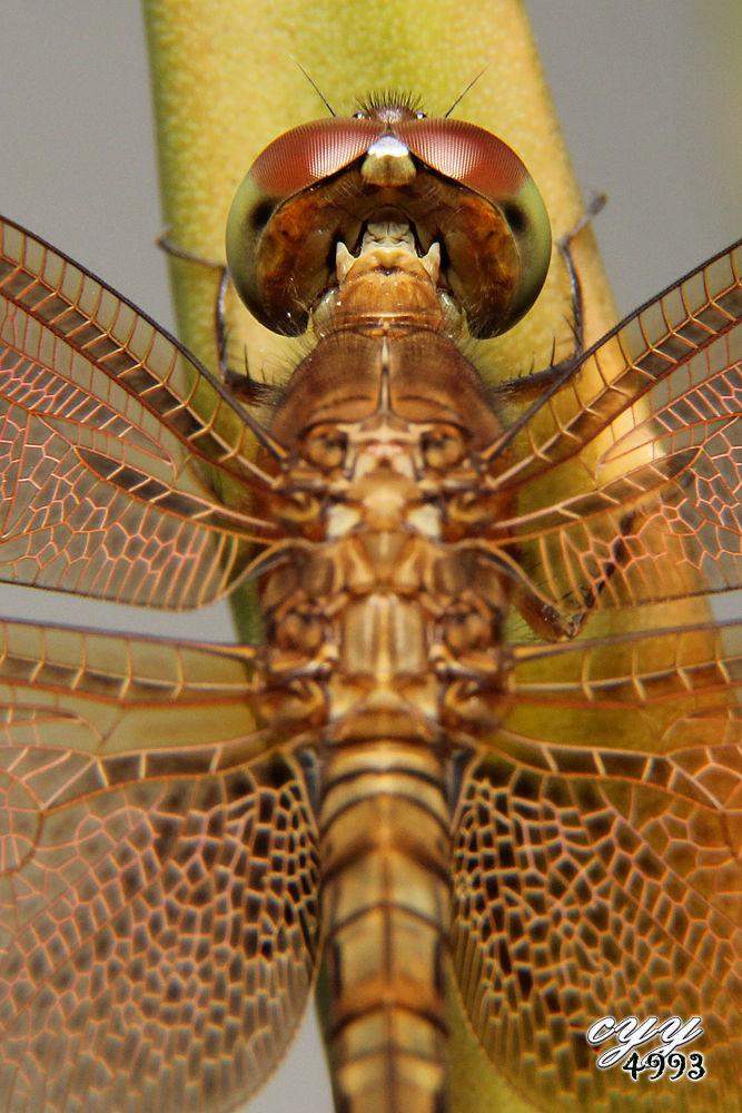 Photo in Macro #dragonfly #canon eos 550d #libellulidae #蜻蜓 #canon ef-s 18-135mm f3.5-5.6 i #cyy4993