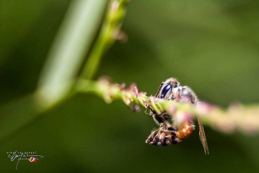 Andalus Bee by vdjooops06