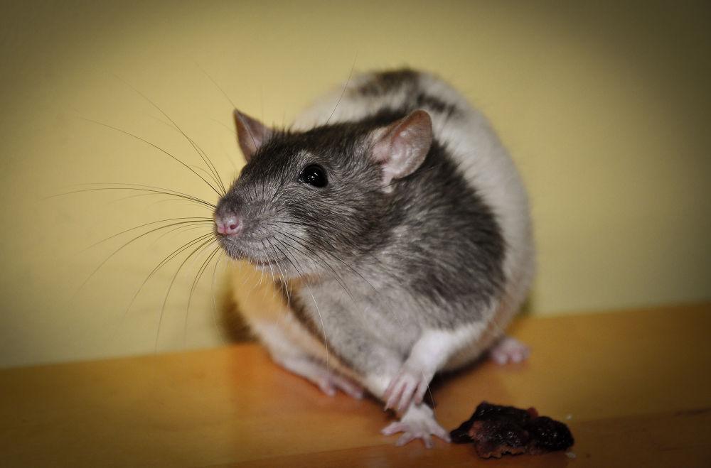 rat by Lovi