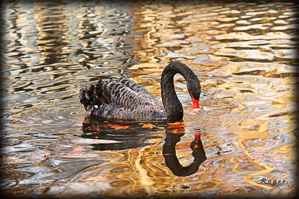 El cisne negro. by manuroger