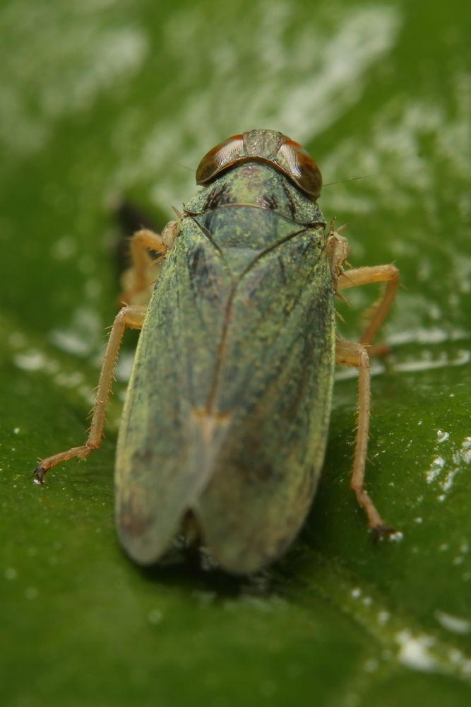 Leafhopper [Cicadellidae] 叶蝉 by cyy4993