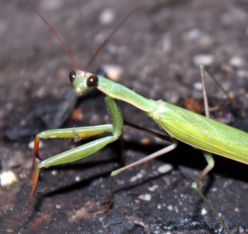 Mantis by AROCHA