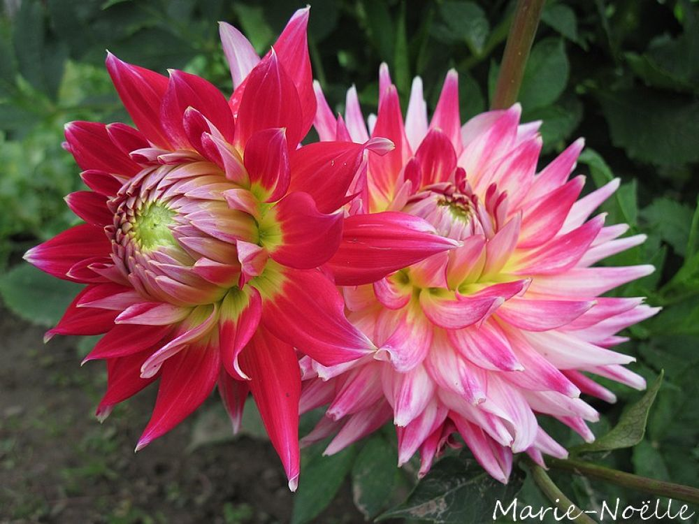 dahlias by MarieNoelle