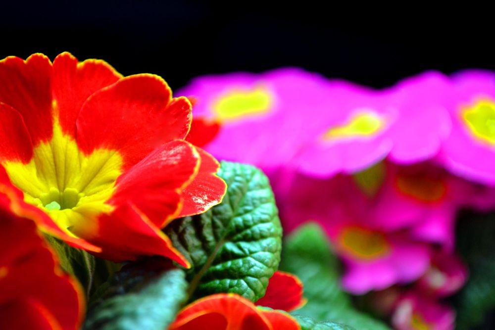 """""""Primula acaulis"""" by marcogphotography"""