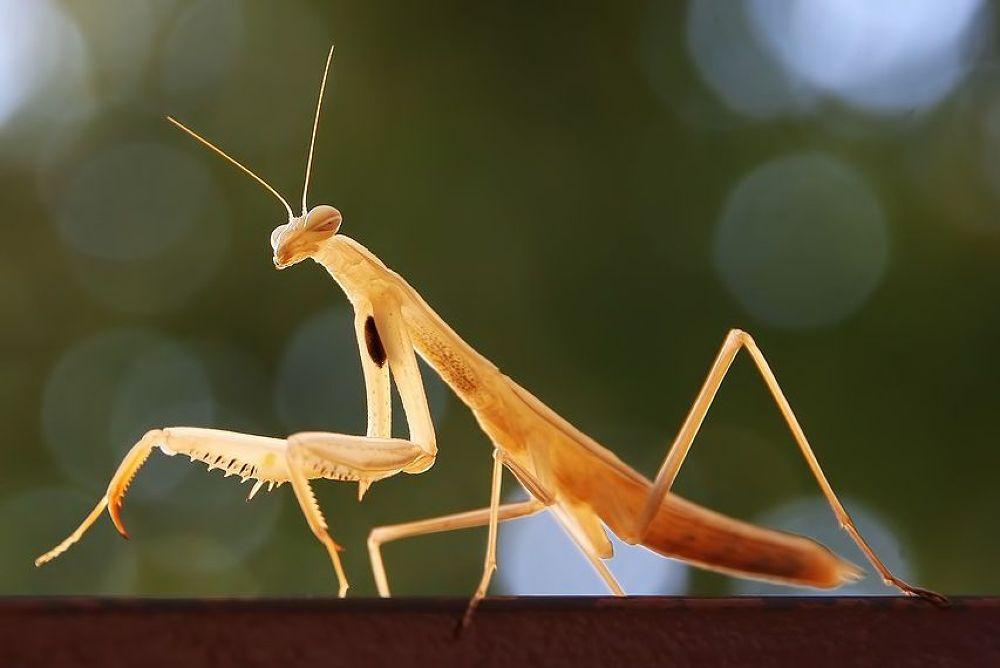 The mantis - Peygamber Devesi by yolyordam