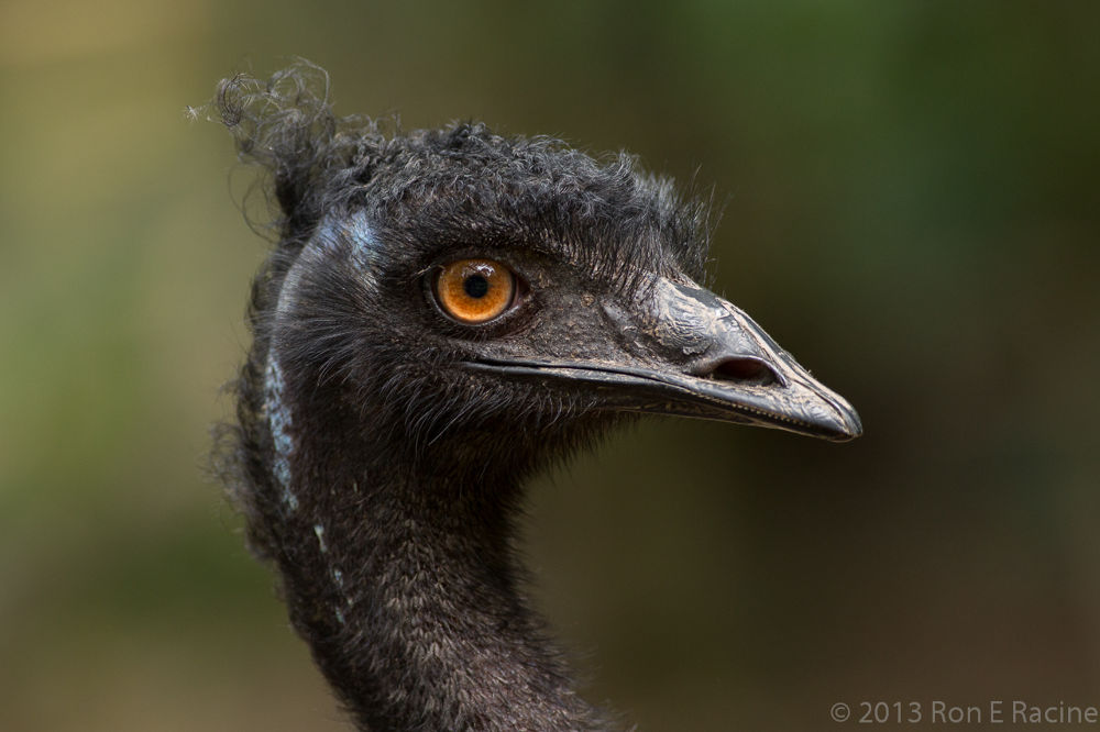 Emu Close-Up by RonERacine