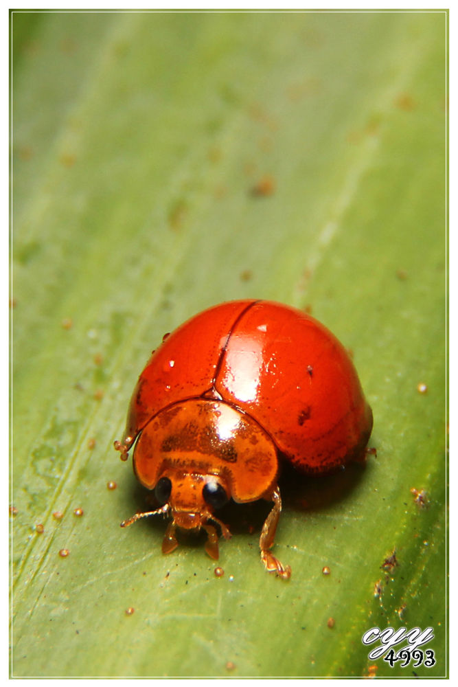 Photo in Macro #beetle #canon eos 550d #canon ef-s 18-135mm f3.5-5.6 i #cyy4993 #瓢虫 #coccinellidae