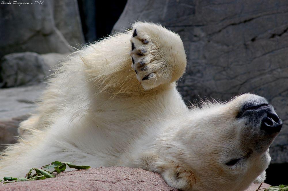 Polar Bear by Renato Manzionna