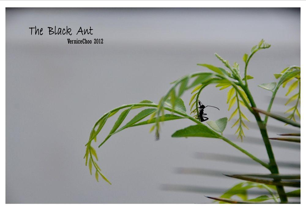 The Black Ant by VerniceChoo