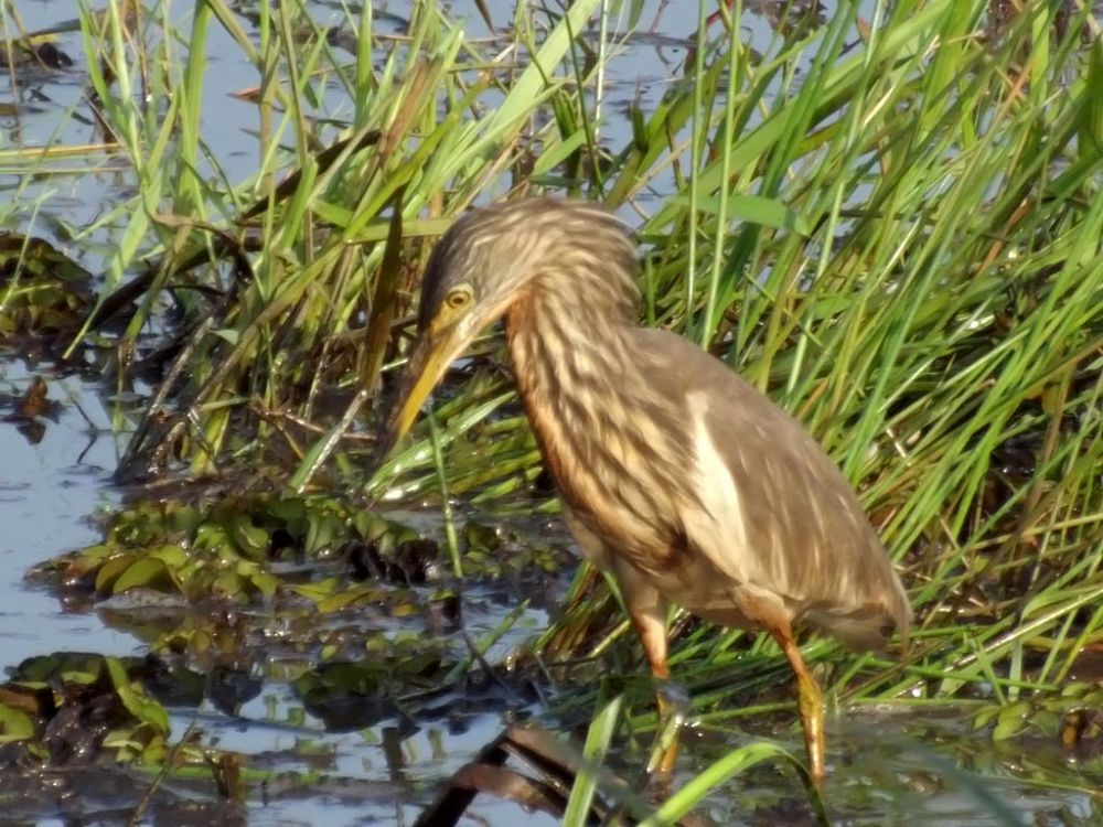 pond heron 2 enhanced by Chris Roughley