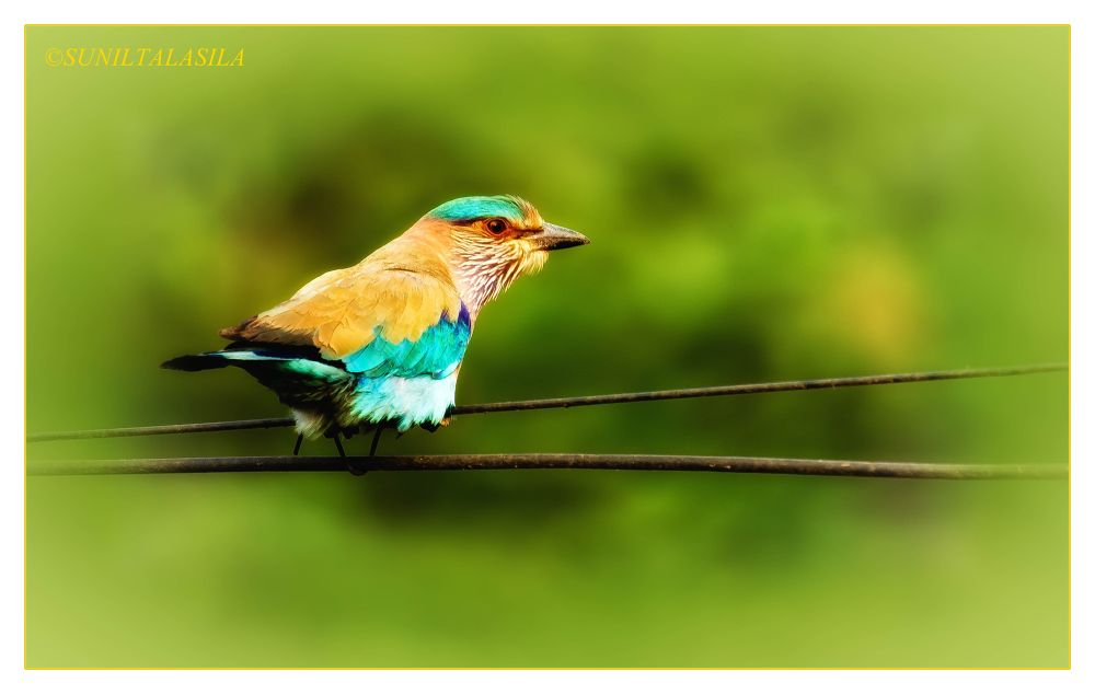 Indian roller - Palapitta(telugu) by suniltalasila