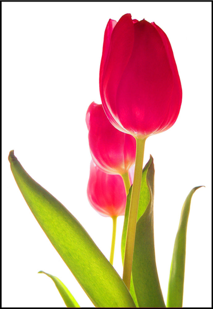 Royal Tulips by robertullmann2