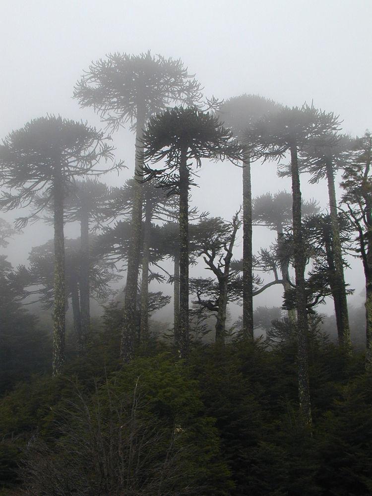 Araucaria araucana forest 17 by Arie Boevé