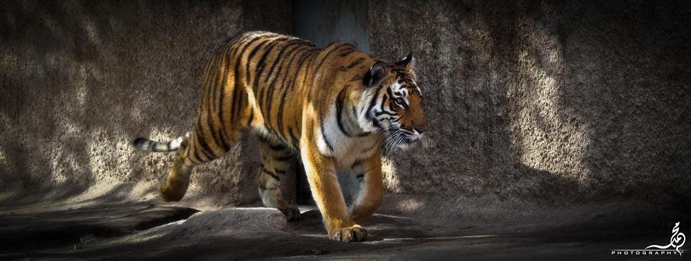 Bengal Tiger @ Riyadh Zoo by M.Khan  م.خان