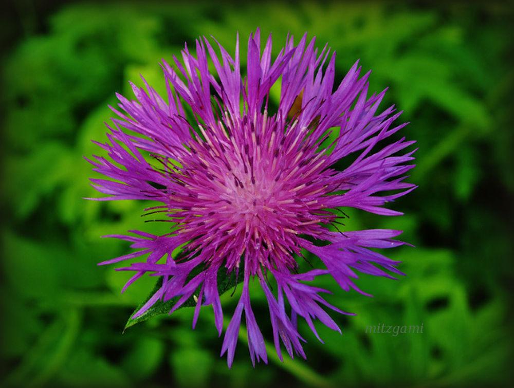 purple by mitzgami
