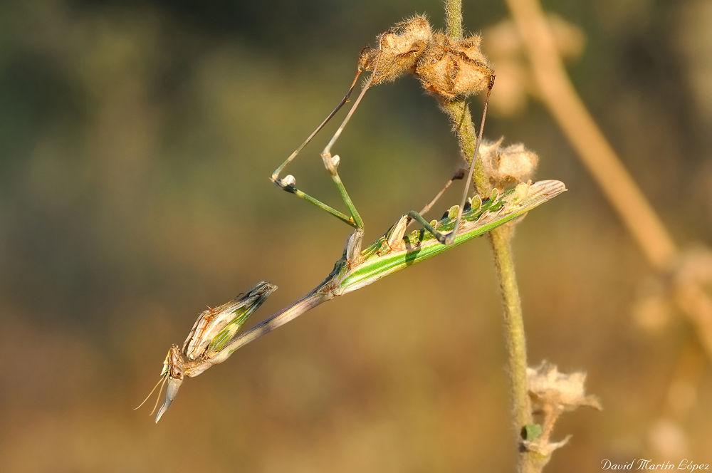 Stick mantis hanging by davidmartinlopez