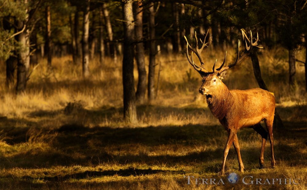 king of the forest  by terragraphic