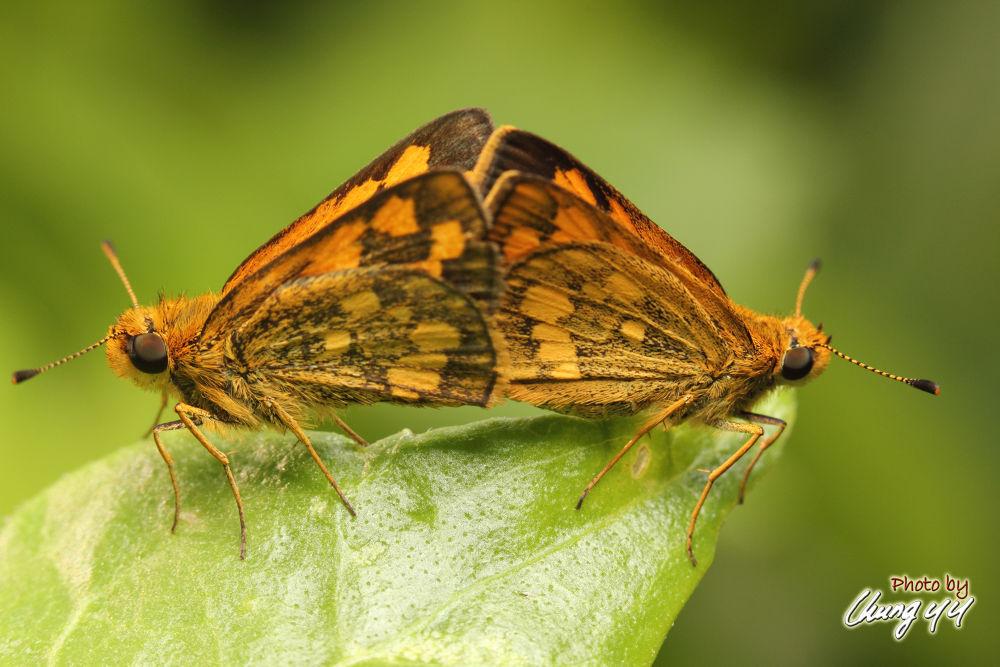 Skipper Butterfly [Hesperiidae] 弄蝶 by cyy4993