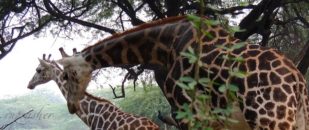 Giraffes from Ravindra Prasher Photography by RavindraPrasherPhotography