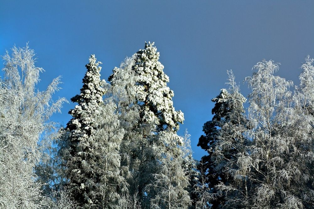 Talviset puut by SakariPartio