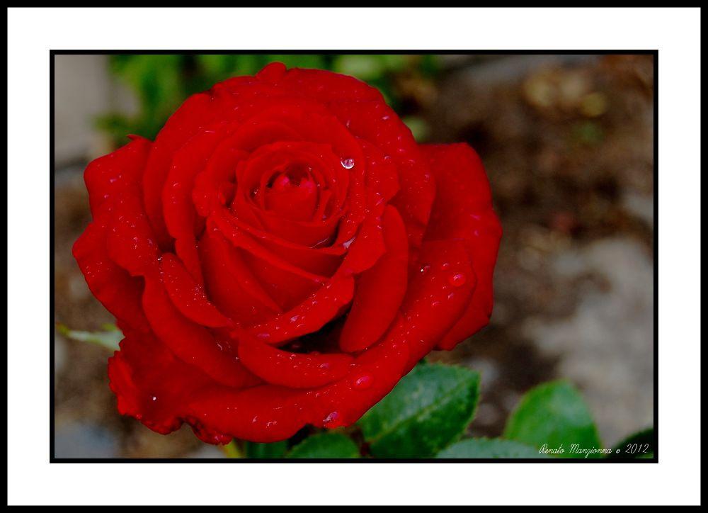 Rose.. by Renato Manzionna