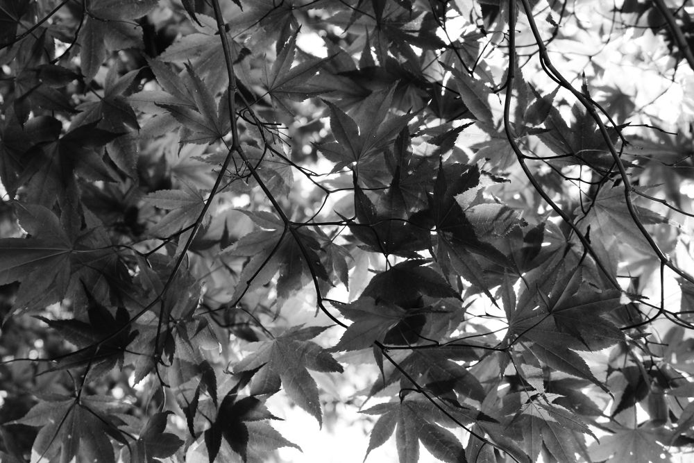 Maple leaves by christinamcalpin