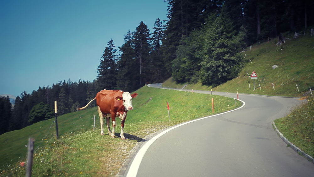 True swiss Cow street guard! by johnhope