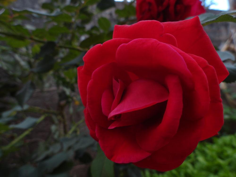 rosa aveludada by LekaCarvalho