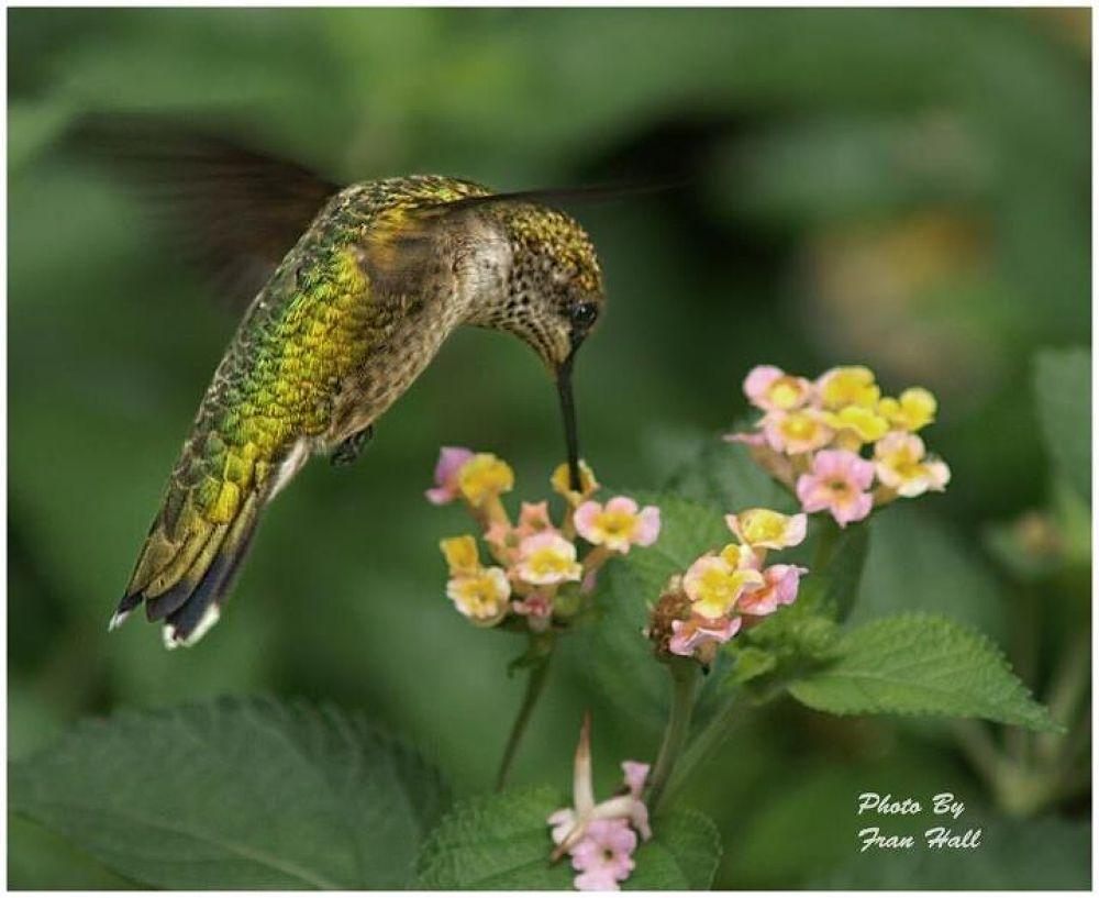 mega shot hummingbird by Fran7909