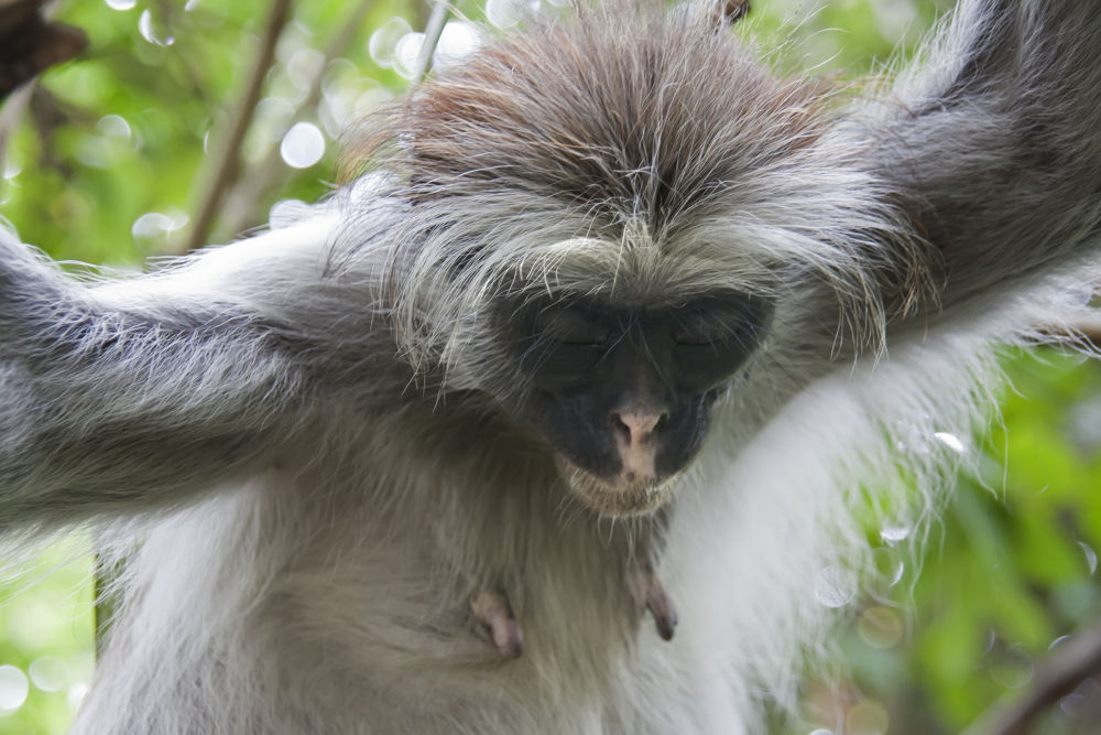 Red Colobus. Jozani Reservation. Zanzibar. by Shimon Aluf